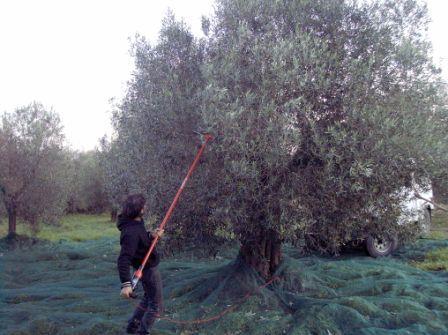 Raccolta delle olive da olio for Raccolta olive periodo