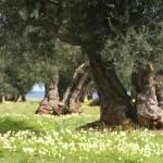 Principali tipologie dell'olio di oliva